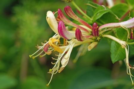 honeysuckle: honeysuckle flower Stock Photo