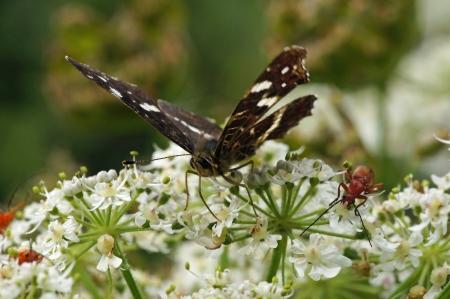 honing: vlinder op bloemen,bezig met eten