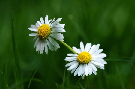 two daisy in the meadow Фото со стока