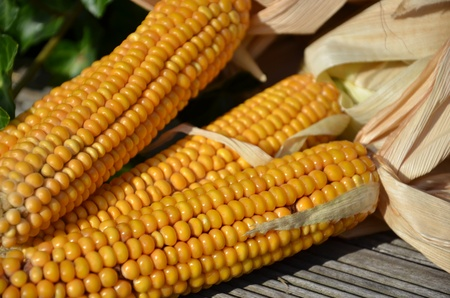 drying corn cobs: Yellow corn cobs are drying off in sunshine. Stock Photo