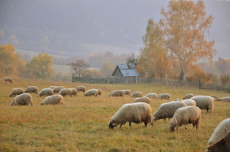 Sheeps on the meadow photo