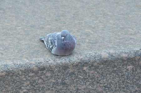 Dove is sitting on the marble slab  photo