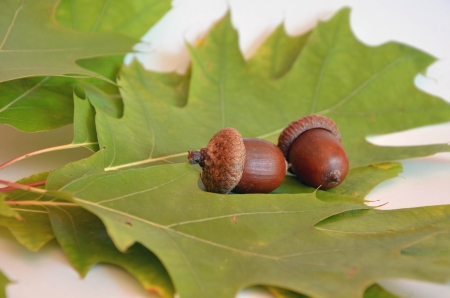 Two acorns next to the oak leaf on white background photo