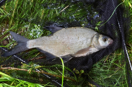 abramis: Catched fish (Abramis Brama) on the bank in drop net Stock Photo