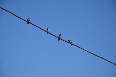 Four swallows are sitting on electric wire photo