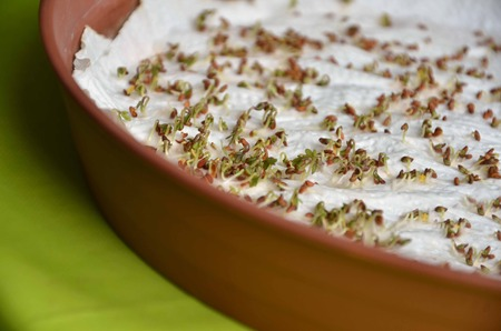 cress: Sprouted seeds of cress on paper napkin