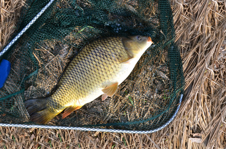 grass carp: Snagged carp in landing net in sunshine, dry grass in background Stock Photo