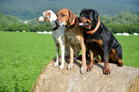 White dog, brown ridgeback and black rottweiler sit on roll of straw on green meadow