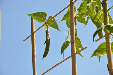 planta de frijol: planta de frijol se enreda en la escalera de bamb�, cielo azul en el fondo