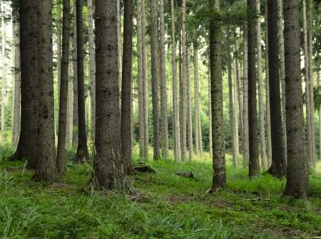 houtsoorten: sparrenbos Stockfoto