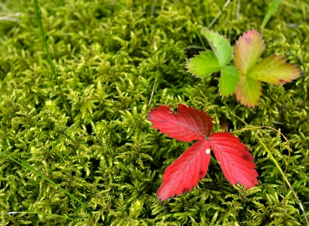autumn strawberry leaves on moss photo