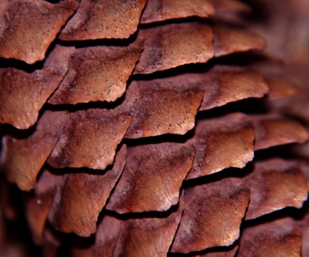 texture or background with dark brown spruce cone