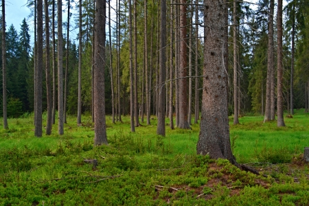 background forest clearing with spruce trees Stock Photo