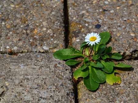 one daisy on the sidewalk of concrete cubes