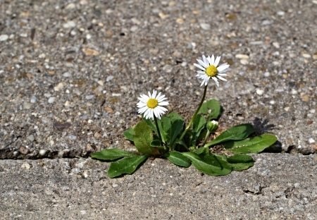 Two daisies on the sidewalk of concrete cubes
