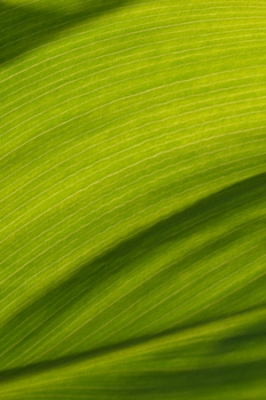 backgroun or texture abstract painted background banana leaf