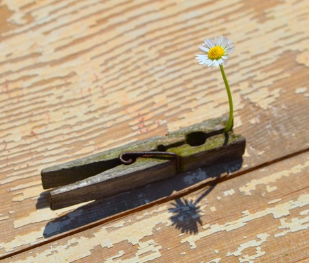 White daisy gripped in the clothes pin on old painted wood