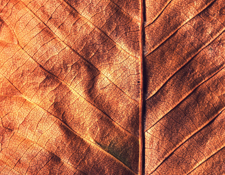 sear and yellow leaf: abstract background or fall texture old leave detail
