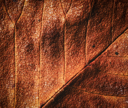 sear and yellow leaf: abstract background or texture detail brown autumn tree leaf Stock Photo