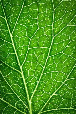 capillary: abstract background or texture detail on green leaf capillaries