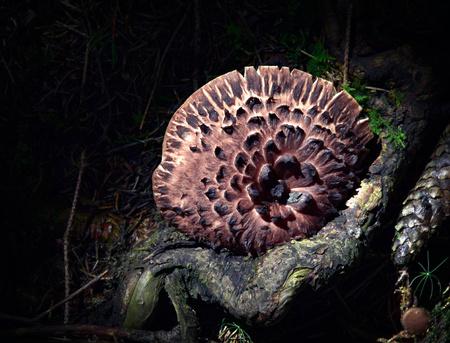 adherent: background Sarcodon imbricatus adherent fungus on stump