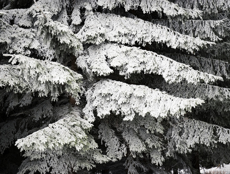 abstract seasonal background frozen branches of spruce
