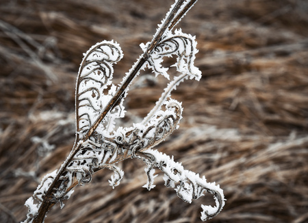 seasonal background with dried plant with frost Stock Photo