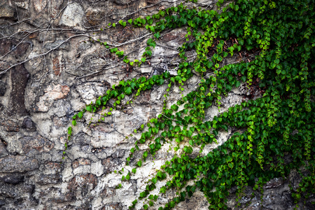 background stone walls overgrown with green ivy