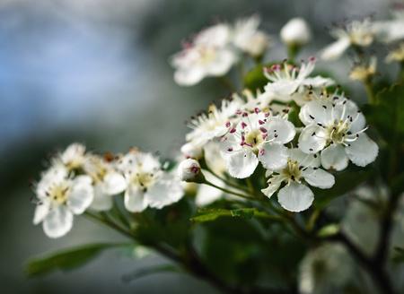 nature seasonal background white hawthorn flowers