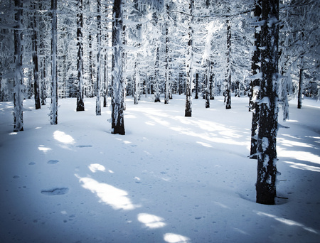 nature seasonal background dense spruce snowy forest Stock Photo