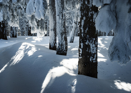 nature seasonal background in a densely snowy spruce forest Фото со стока