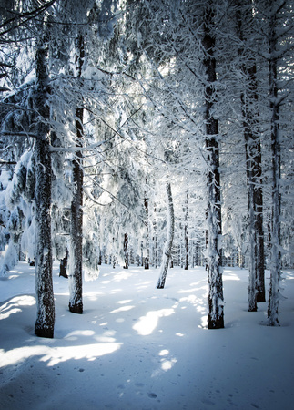 nature seasonal background densely snowy forest stand