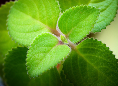 nature background green hairy leaves Plectranthus argentatus silver spurflower Stock Photo