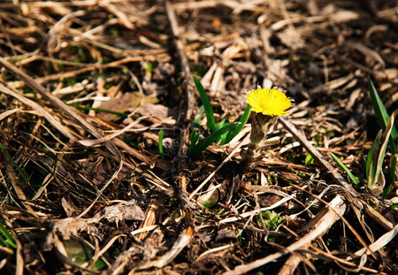 seasonal nature background One detail coltsfoot Stock Photo