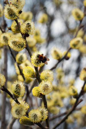 nature seasonal background bumblebee is feeding on willow