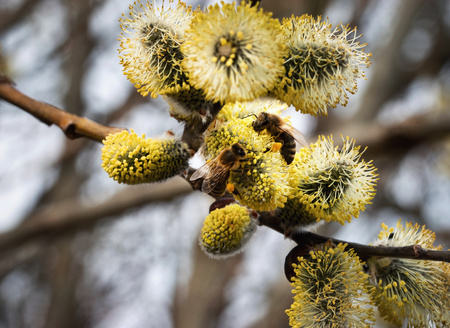 nature seasonal background two bee on yellow blooming willow