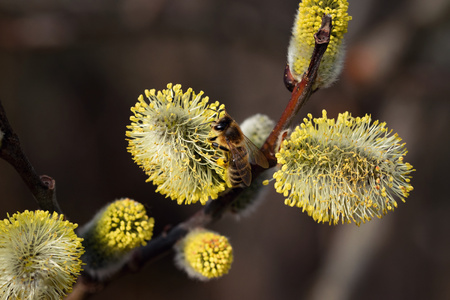 nature seasonal background bee on yellow blooming willow
