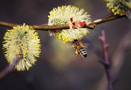 nature seasonal background bee flying on a willow flower