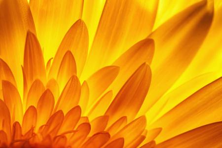 nature background gerbera flower petal detail in backlit