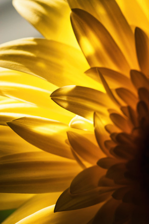 abstract nature background  gerbera flower petal detail in backlit Stock Photo