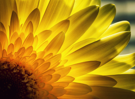 abstract nature background detail Gerbera petals backlit Stock Photo