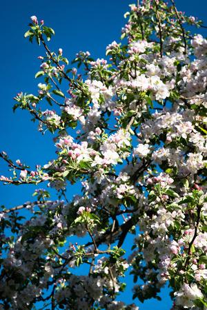 nature seasonal background great beautiful flowers on apple tree