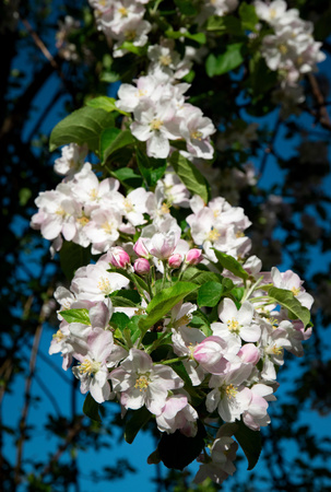 seasonal nature background close-up of a group of apple tree flowers Stock Photo
