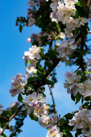 seasonal nature background apple flowers in may