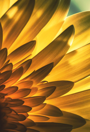 nature background Abstract view of a flower petal in backlight Stock Photo