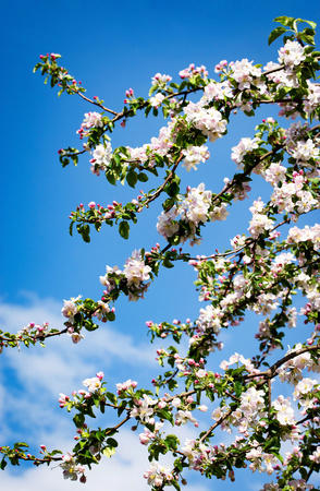 nature seasonal background apple branch with blooming flowers