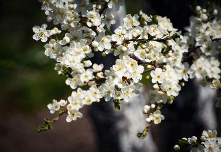 seasonal nature background bee on white flowers