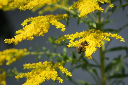 nature background flower of goldenrod with drinking bee