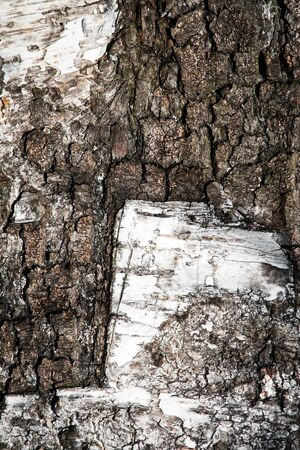 abstract background or texture shapes on birch tree bark 写真素材