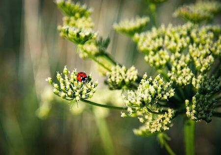 nature background red seven dot ladybird on plant 写真素材